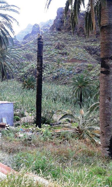 El Ayuntamiento de Valle Gran Rey insta al Cabildo investigue la muerte de palmeras en el Municipio.